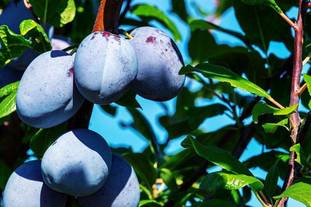 Fruitbomen groeien ook in potten