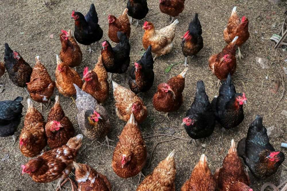 Kippen houden: zo doe je het